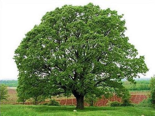 Oak - White - 10 gallon