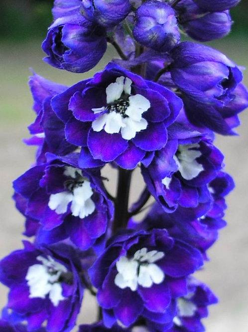Delphinium - Magic Fountain Dark Blue/White Bee
