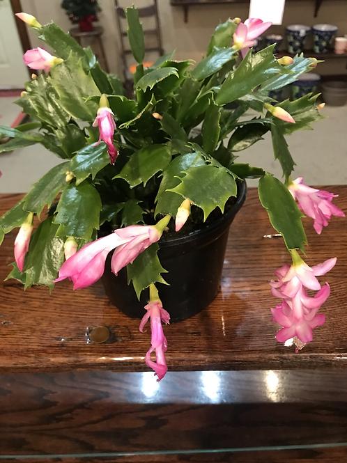 "Christmas cactus 6.5"""