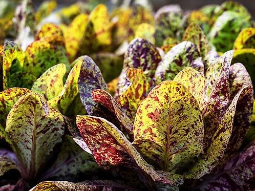 Baker Creek Heirloom Seeds - Lettuce - Forellenschluss