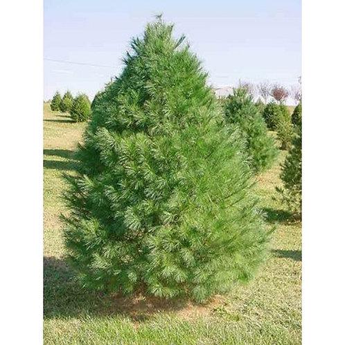White pine 8' b&b