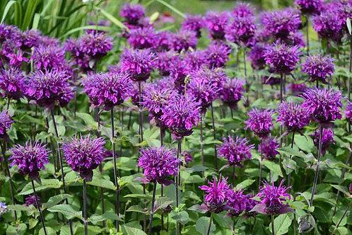 Monarda(Bee Balm)- Balmy Purple