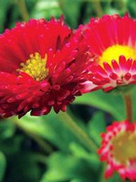 Bellis (English Daisy) Bellissima Red
