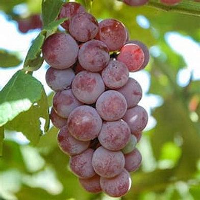 Grape - Somerset
