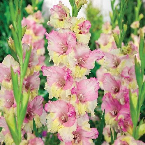 Gladiolus - Mon Amour