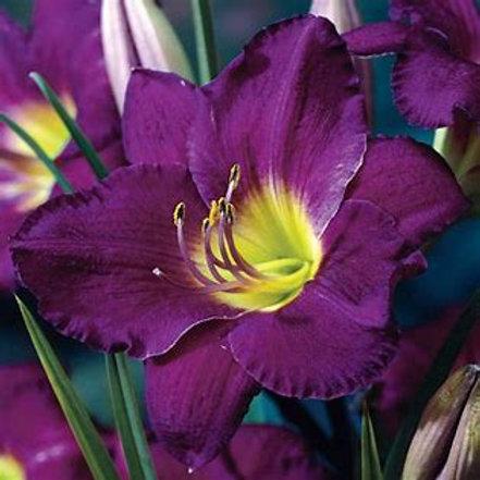 Day Lily - Hemerocallis - Purple D'oro