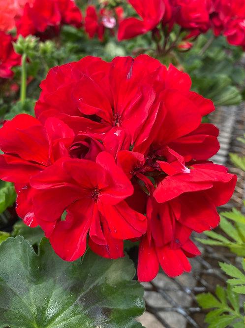 Geranium - Presto Dark Red