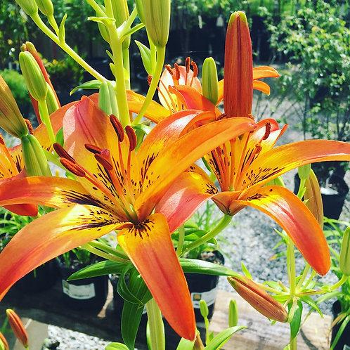 Asiatic Lily - Orange 5 gallon