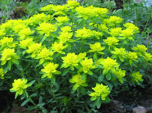 Euphorbia (Cushion Spurge) Yellow
