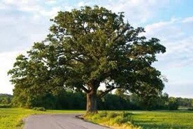 Oak - Bur - 15 gallon