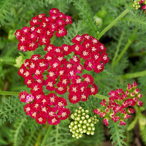 Yarrow - Ritzy Ruby