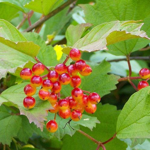 Viburnum - Cranberry