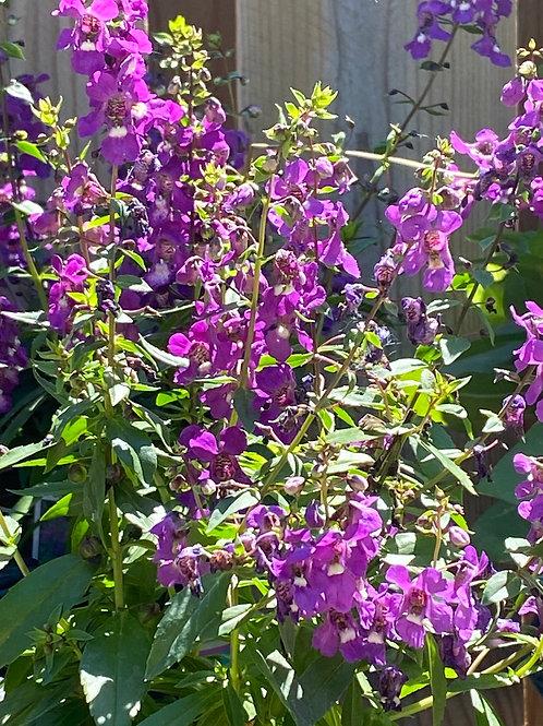 Angelonia - Serena Purple