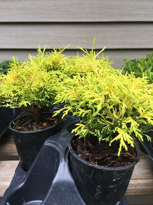 Cypress - Golden Mop 1.5 gal