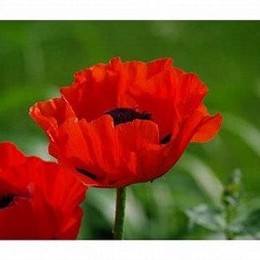Poppy - Crimson Red