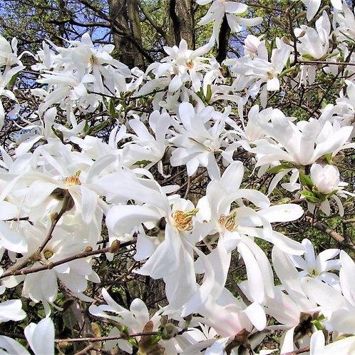 Magnolia - Royal Star - 10 gallon