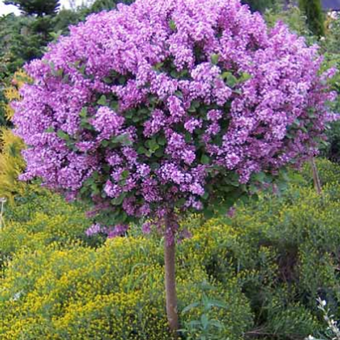 Lilac - Dwarf Korean Tree Form - 15 gallon