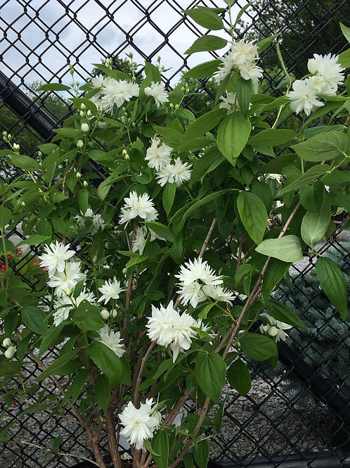 Mock Orange - Snowflake
