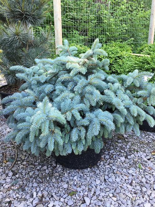 Spruce - Globe