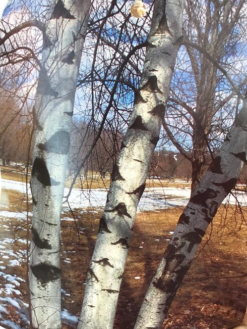 Whitespire birch clump 7 gal