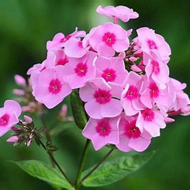 Phlox (Garden) - Flame Pink