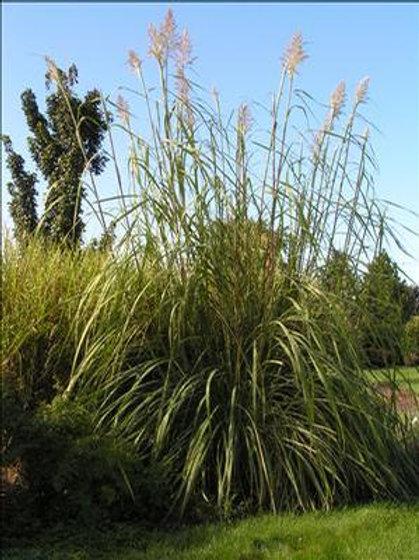 Pampas Grass - Raven