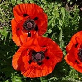 Poppy - Orange Scarlet