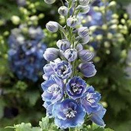 Delphinium - Delphina Series - Light Blue White Bee