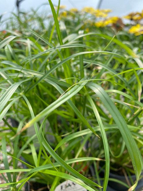 Grass - Baby Tut