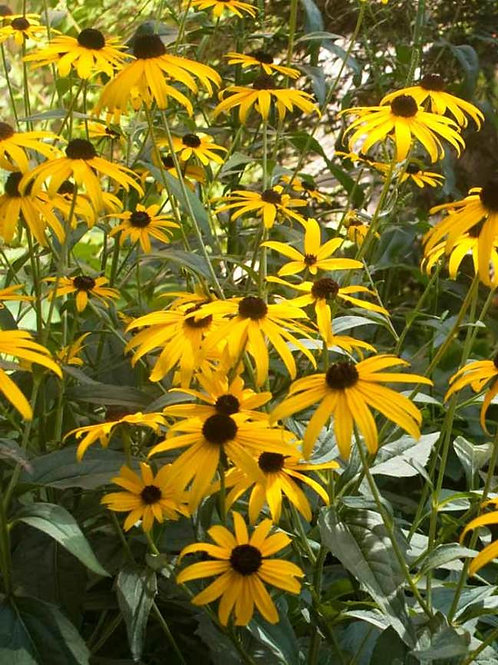 Black Eyed Susan - Goldstrum