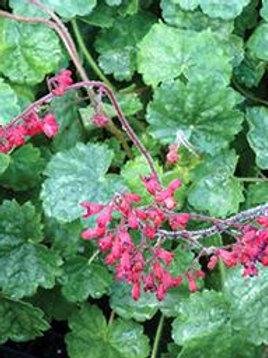 Heuchera - Coral Bells - Ruby Bells