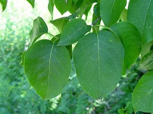 Lilac - Japanese Tree