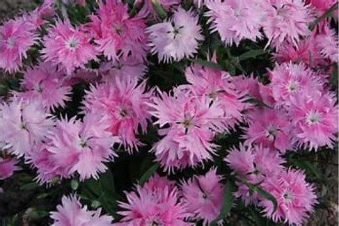 Dianthus - Supra Pink