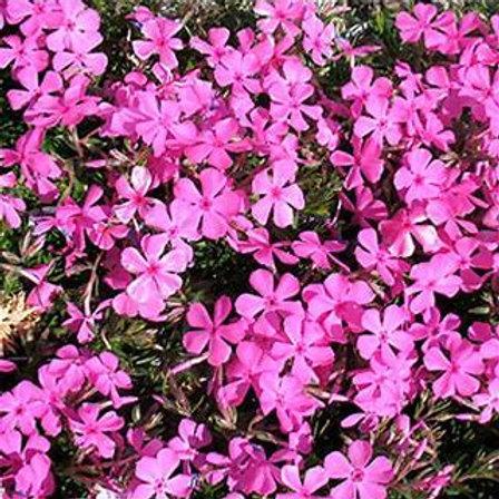 Phlox (Creeping) - Drummonds Pink