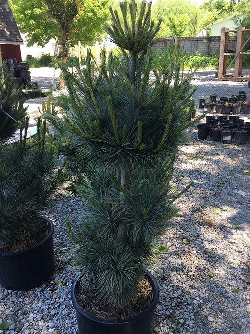 Pine - Pacific Blue