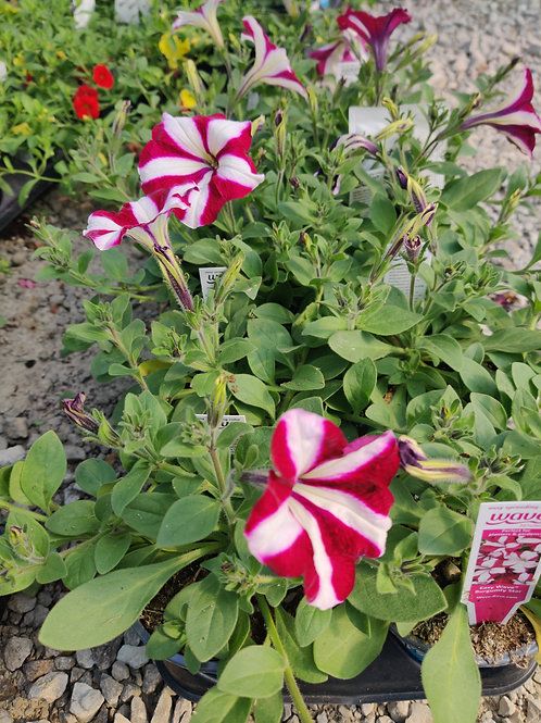 Petunia - Wave Burgundy Star