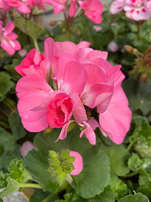 Geranium - Fantasia Pink