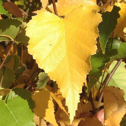 Birch - Whitespire Clump - seed source