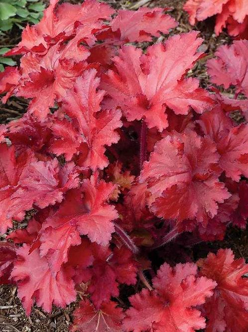Heuchera - Coral Bells - Forever Red