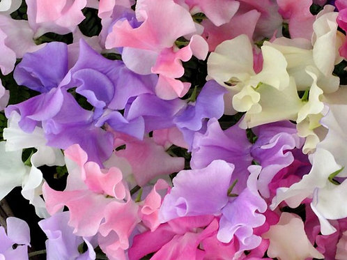 Sweet Pea(Lathyrus) Mix - Gallon