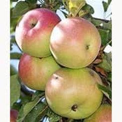 Apple - McIntosh