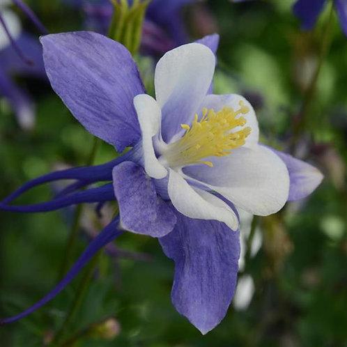 Aquilegia (Columbine) - Earlybird - Blue White
