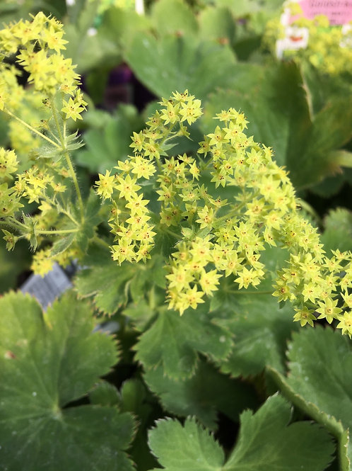 Alchemilla - Lady's Mantle - Goldstrike