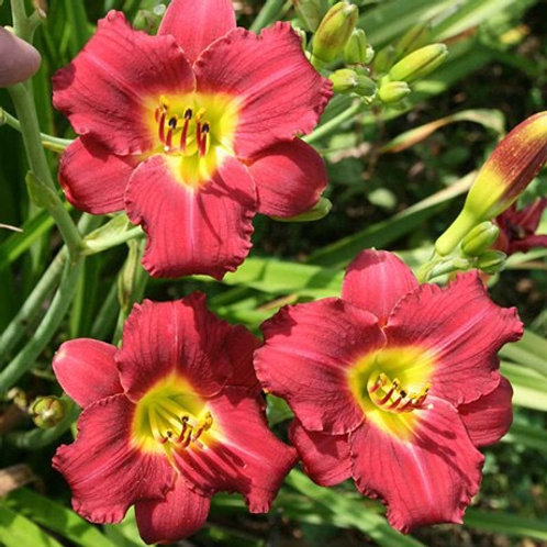 Day Lily - Hemerocallis - Pardon Me