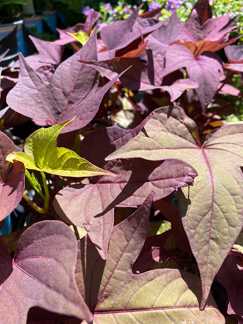 Sweet Potato Vine - Rusty Red