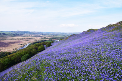Bluebells in the Cambrian Mountains