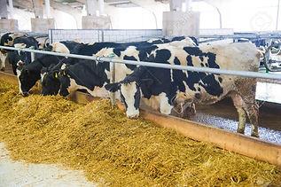 71406159-cows-in-a-farm-dairy-cows-cowsh