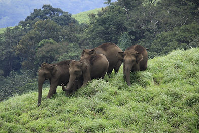 elephants_at_periyar_270.JPG
