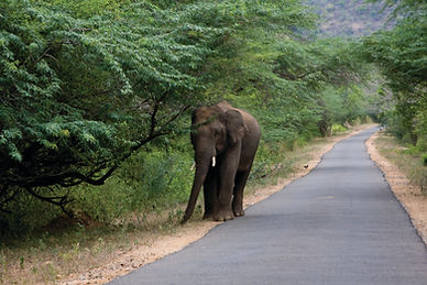 elephant_walking_by_the_road_in_chinnar_