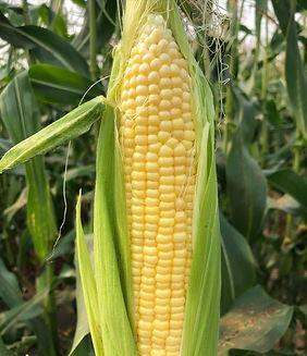 corn 2021.JPG